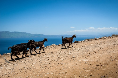 goats-497910_1280